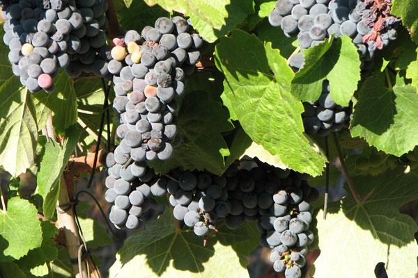 Kieliszek wina dziennie zmniejsza ryzyko SM?